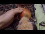 Хомяк Хеннесси с яблоком